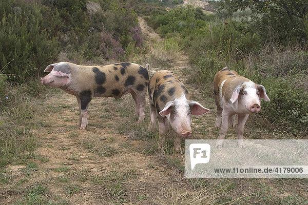 Freilandhaltung von Schweinen  Chalkidiki  Nordgriechenland  Griechenland