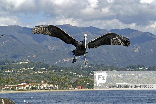 Pelikan im Anflug am Strand von Santa Barbara Kalifornien United States of America USA