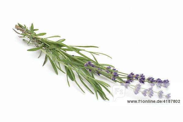 Heilpflanze Lavendel (Lavandula angustifolia  Lavandula officinalis  Lavandula vulgaris)