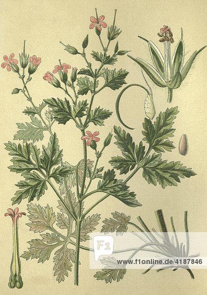 Heilpflanze Ruprechtkraut  Storchschnabel  Storchenschnabel  Ruprechts-Storchschnabel (Geranium robertianum)  Historische Chromlithographie aus dem Jahre 1880