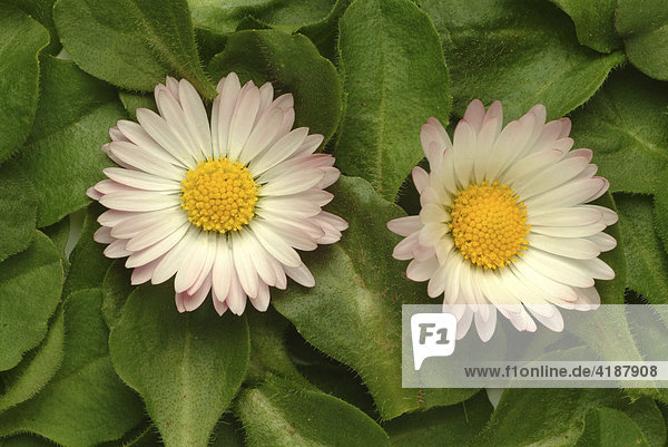 Gänseblume  Gänseblümchen (Bellis perennis)  Heilpflanze