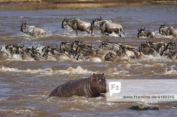 Ein Herde Weißbartgnus (Connochaetes taurinus) sowie ein Flusspferd (Hippopotamus amphibius) beim Überqueren des Mara River  Kenia  Afrika
