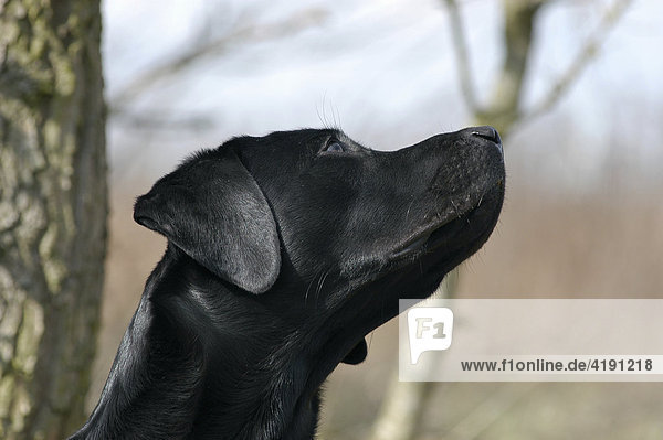 Black Labrador Retriever dog looking in the sky