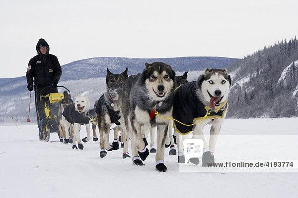 Schlittenführer des Yukon Quest Hundeschlittenrennens Brent Sass mit seinem Hundeschlittengespann beim Verlassen von Dawson City auf dem zugefrorenen Yukon Strom  Yukon  Kanada
