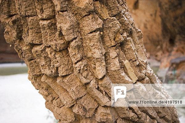 Rinde Korkbaum  Bungle Bungle  Purnululu National Park  Kimberley  Westaustralien  WA  Australien
