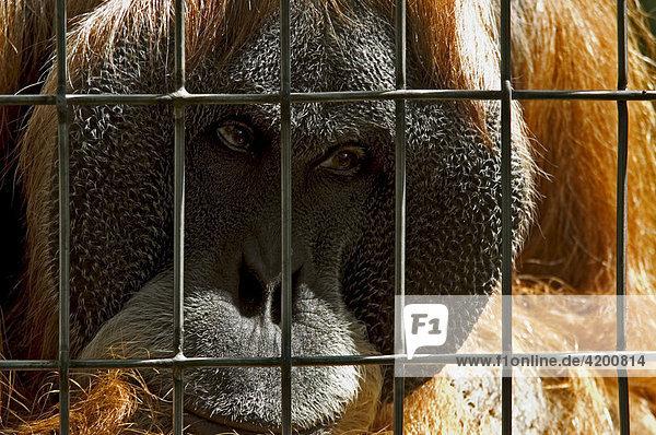 Orang Utan ( Pongo pygmaeus ) Zoological Garden  Frankfurt/Main