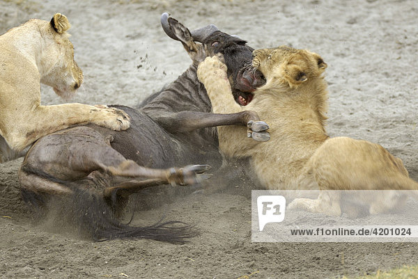 'Löwe  (Panthera leo)  Morgenjagd