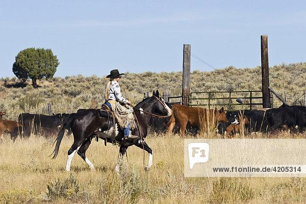 Cowgirl mit Rindern  Oregon  USA