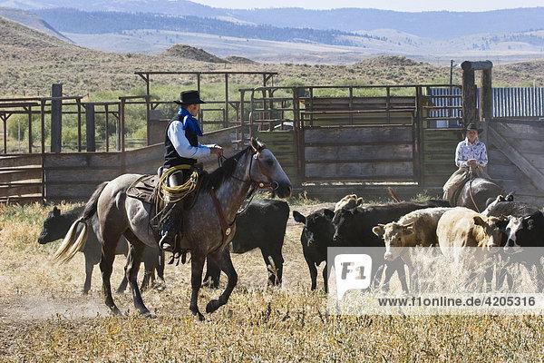 Cowgirl und Cowboy mit Rindern  Oregon  USA