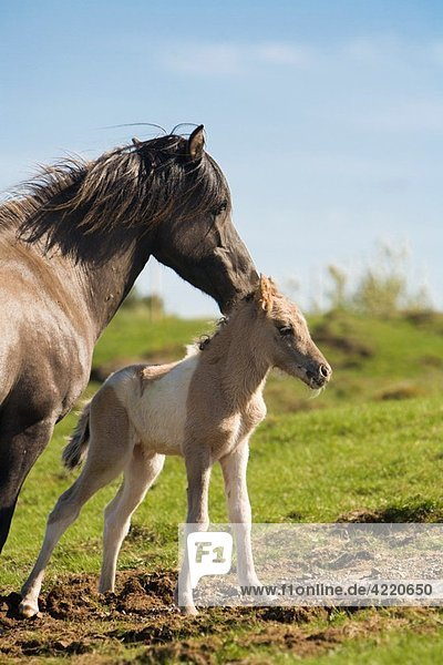 Four hour old foal with its mother  Iceland