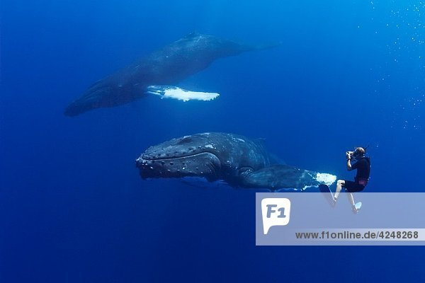 wildlife photographer James D Watt photographing humpback whales  Megaptera novaeangliae  Pacific Ocean