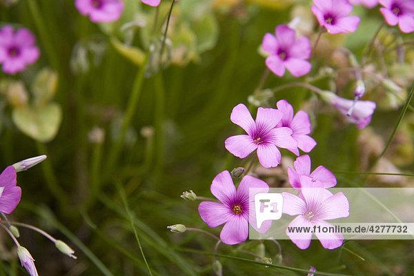 Blumen Clover Anlage