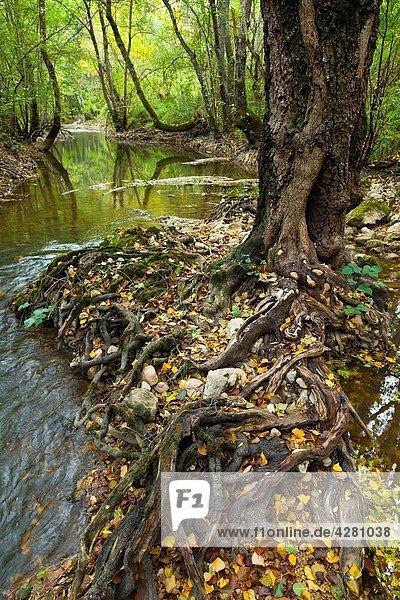 Alisos en Bosque de ribera Alto Rudrón Cañón del Ebro BURGOS CASTILLA Y LEÓN ESPAÑA