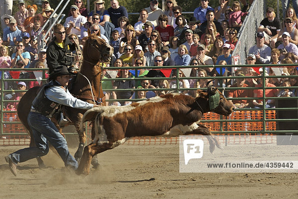 Cowboy versucht  eine Kuh während der Rodeo an der Alaska State Fair in Palmer  Alaska Seil