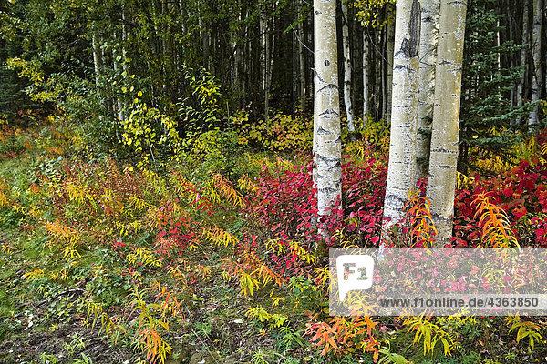 Colorful Ansicht von Aspen Baum-Stämme und Herbstlaub auf der Kenai-Pennensula in South Central Alaska