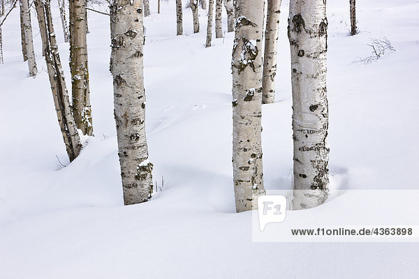 Snow covered birch forest in Russian Jack Springs Park,  Anchorage,  Southcentral Alaska,  Winter