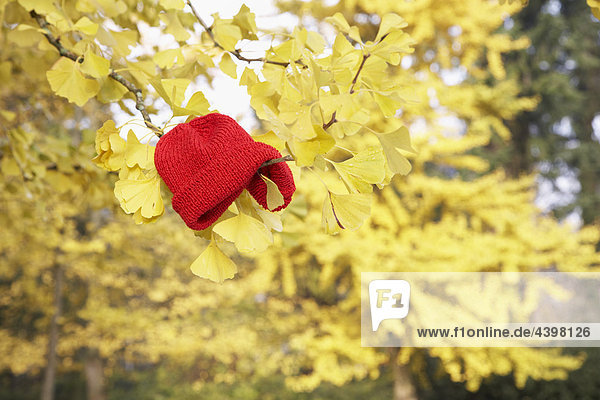 red cap hanging in branch of autumn tree