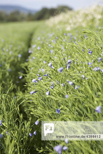 linseed field