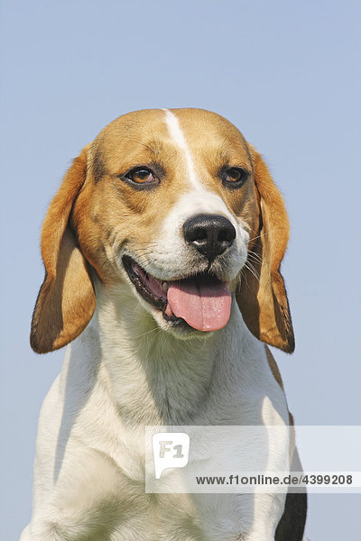 Beagle - Portrait