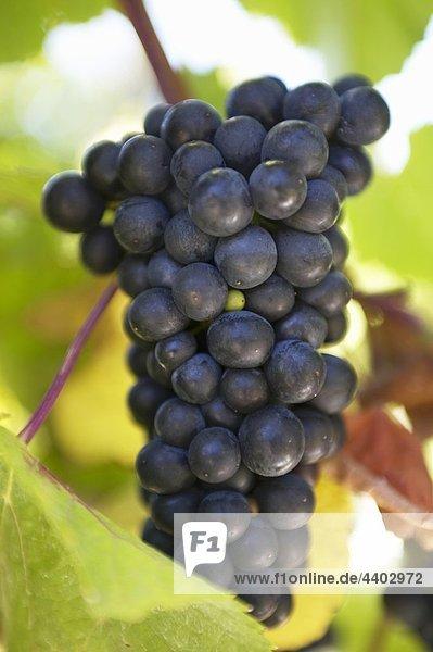 Rote Rebsorten auf die Weinrebe  Neuseeland