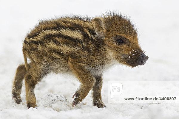 Wildschweinbaby