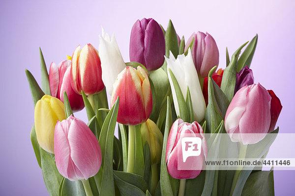 Nahaufnahme von deutschen Tulpen vor violettem Hintergrund