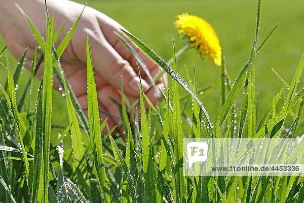 Dew in grass Dandelion Taraxacum officinale