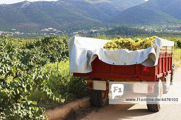 Traktor und Anhänger voller Trauben