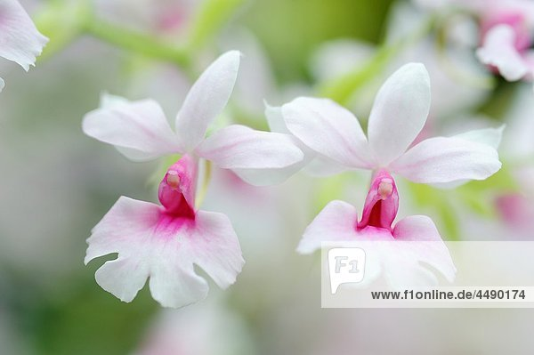 The orchid Calanthe vestita  close up Indochina  Vietnam
