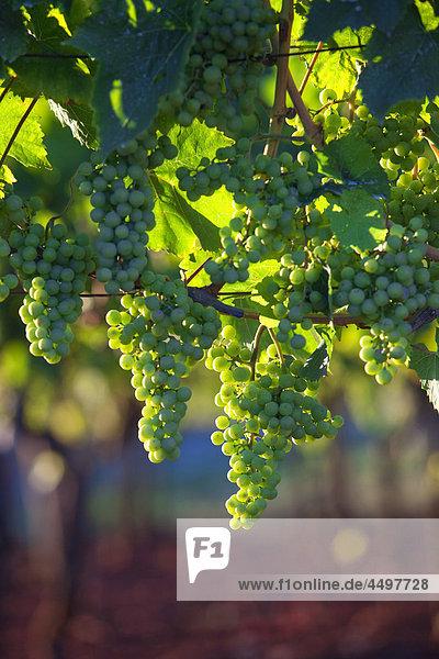 Landwirtschaft  Hintergrund  Bund  close up  Farbe  Kroatien  Ernte  Tag  Bauernhof  Landwirtschaft  Lebensmittel  Obst  Trauben  Grapevine  grün  wachsen  Wachstum  Ernte  Blatt  Natur  niemand  organische  Außenaufnahme  Pflanze  ländlichen  Sommer  sonnig  Rankenpflanze  Wein  Weinberg