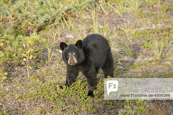 Schwarzbär  Ursus Americanus  Familie Ursidae  Cub  Wood-Buffalo-Nationalpark  Nordwest-Territorien  Kanada Schwarzbär, Ursus Americanus, Familie Ursidae, Cub, Wood-Buffalo-Nationalpark, Nordwest-Territorien, Kanada