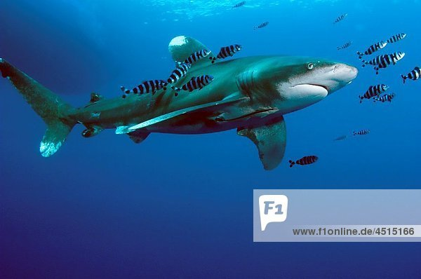 Oceanic White tip shark at Elphinstone reef in Red Sea  Egypt  accompanied by pilot fish The pilot fish benefit by eating scraps of the shark´s food THis shark mainly eats bony fishes like tuna and mackereal  but will also eat other sharks  rays turtles