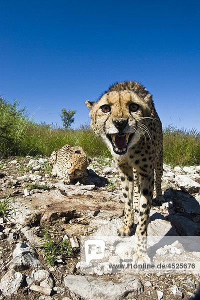Weiblicher Gepard (Acinonyx jubatus) in Gefangenschaft auf einer Tierfarm in Otjiwarongo  Namibia