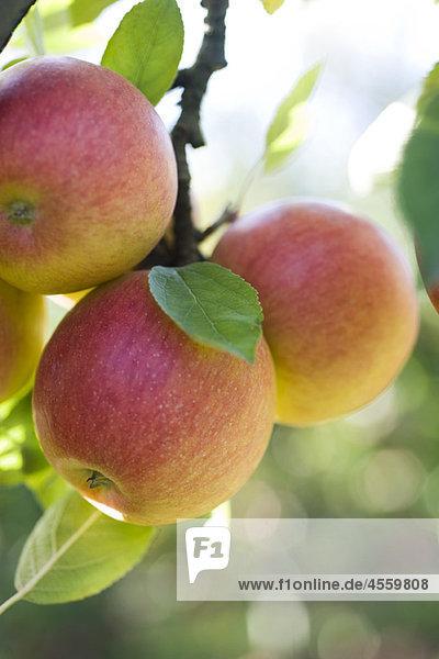 Äpfel reifen am Ast