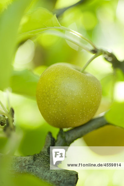 Apfelreifung am Ast