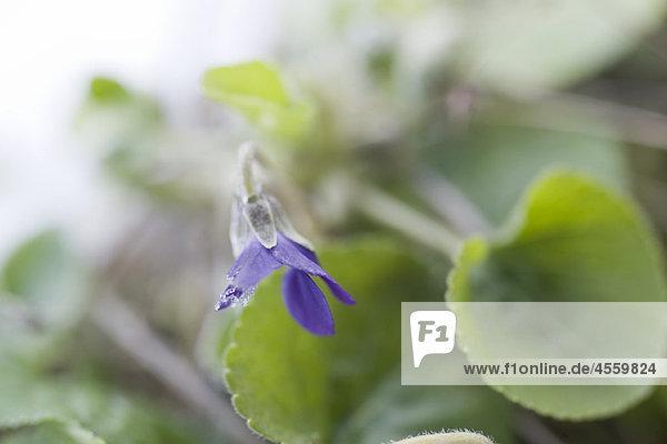 Gefrostete Blütenblätter der violetten Blume