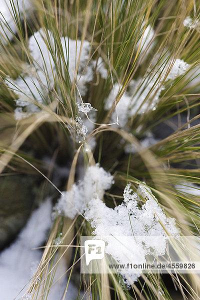 Schneebedeckte Stängel aus hohem Gras