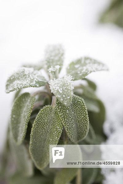 Mattierte Blätter der Salbeipflanze