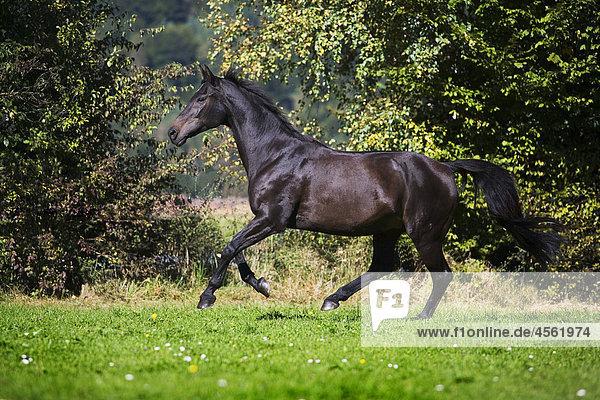 braunes Pferd Rennen auf Wiese