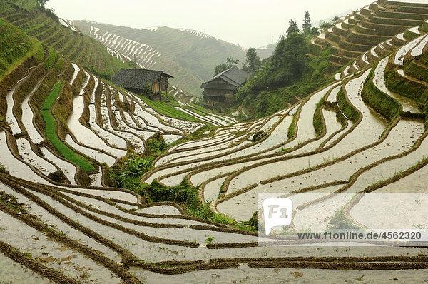 Reisfelder in der Nähe von Ping ein Dorf in Guilin Bereich von China