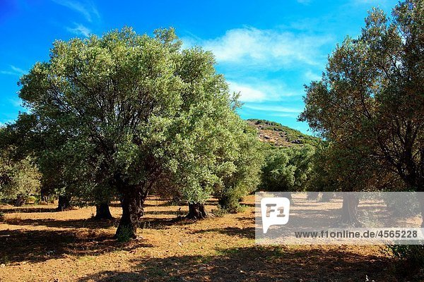 Olive trees of Naxos  Cyclades Islands  Greece