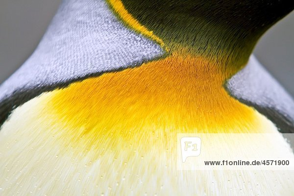 King penguin head detail Aptenodytes patagonicus breeding and nesting colony Fortuna Bay on South Georgia Island  Southern Ocean MORE INFO The king penguin is the second largest species of penguin at about 90 cm 3 ft tall and weighing 11 to 16 kg 24 to 3
