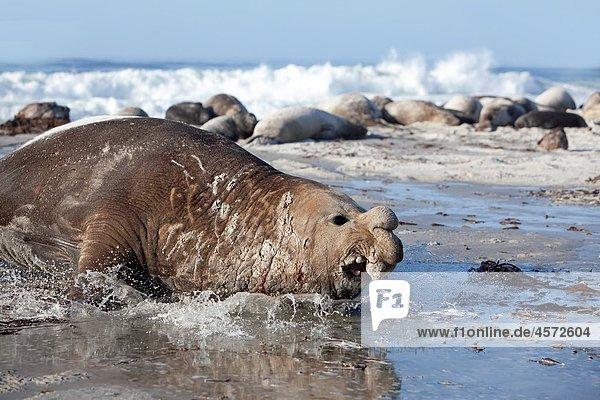 Falkland Islands   Sea LIon island   Southern Elephant Seal Mirounga leonina