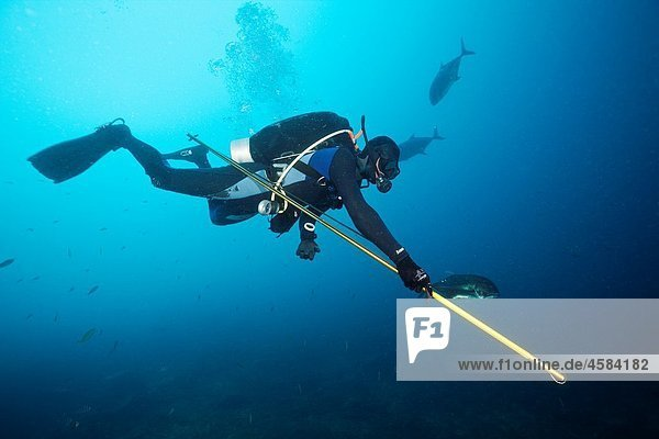 Researcher takes samples of Bull Shark Skin  Beqa Lagoon  Viti Levu  Fiji
