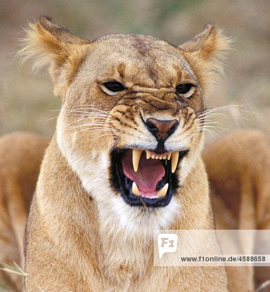 Lion (Panthera leo). Masai Mara. Kenya