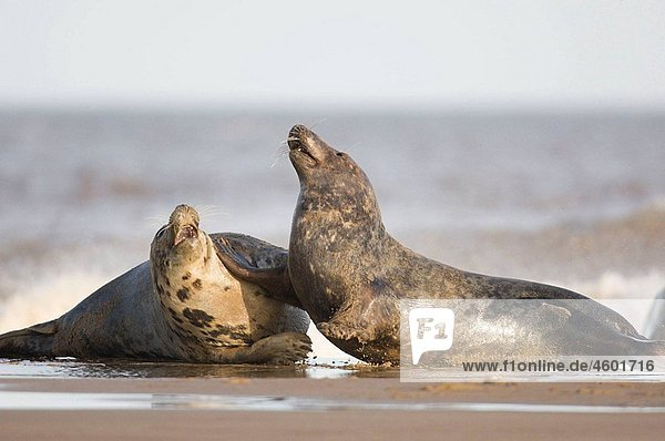 Two grey seals on a beach  North Sea. UK