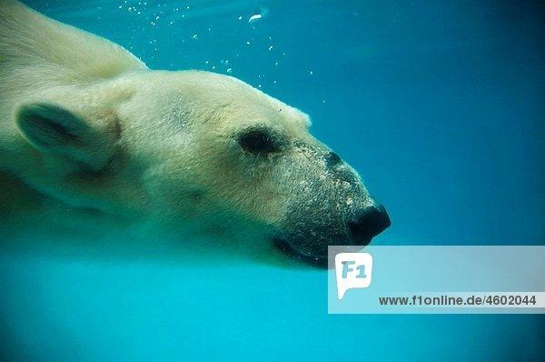 Polar Bear diving underwater