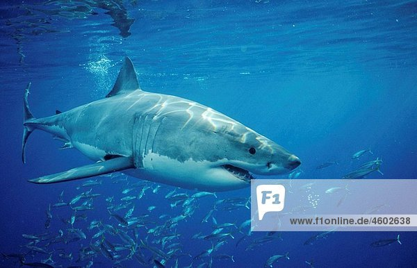 Great White Shark  Carcharodon carcharias  Mexico  Pacific ocean  Guadalupe