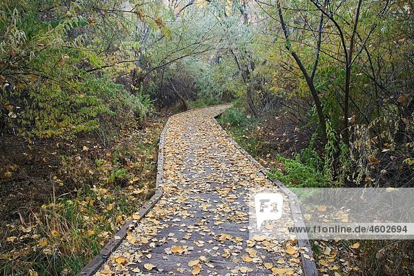 A leaf covered boardwalk meanders through the Scott Matheson Wetlands Preserve on an autumn afternoon in Moab  Utah  USA