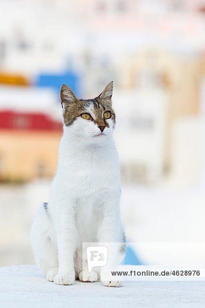 Europa  Griechenland  Kykladen  Thira  Santorini  Oia  Katze auf der Wand sitzend